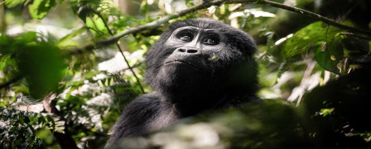 Nouvelle-chambre-au-Sanctuary-Gorilla-Forest-Camp